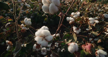 cropland : the highest quality cotton growing on the field Bush with lots of cotton bolls, ready for harvest Stock Footage