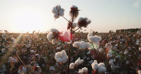 pelyhes : the highest quality cotton growing on the field Bush with lots of cotton bolls, ready for harvest Stock mozgókép