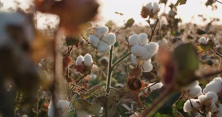 pan shot : a field of cotton ready to harvest at sunset
