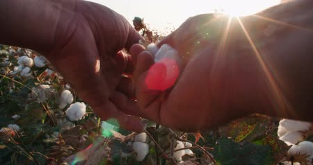 хлопок : mens hands collect the highest quality cotton in field growing Bush with lots of cotton bolls