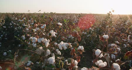cropland : highest quality cotton is ready to harvest field Dolly shot with the glare of the sun Stock Footage