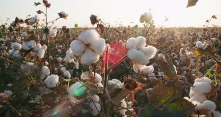 cropland : a field of cotton ready to harvest at sunset