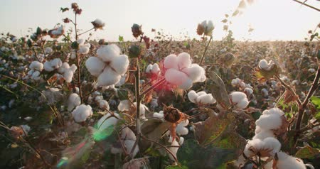 polního : close-up of the highest quality cotton is ready to harvest field