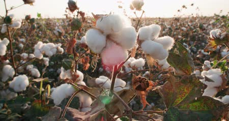 pelyhes : highest quality cotton is ready to harvest field at sunset