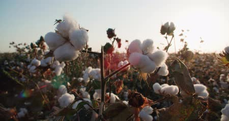 cropland : close-up of the highest quality cotton is ready to harvest field