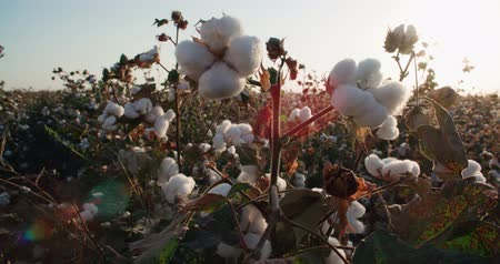 bavlna : the highest quality cotton growing on the field Bush with lots of cotton bolls, ready for harvest Dostupné videozáznamy