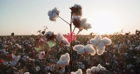 cropland : highest quality cotton is ready to harvest field at sunset