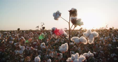 chmýří : close-up of the highest quality cotton is ready to harvest field