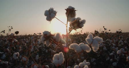 de ativos : close-up of the highest quality cotton is ready to harvest field