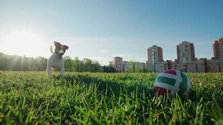 поясница : funny Jack Russell Terrier dog catches the ball, plays with the owner, slow motion