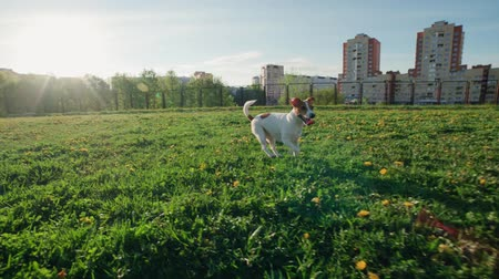 pampeliška : funny Jack Russell Terrier dog runs on the grass while playing in the Park, slow motion Dostupné videozáznamy