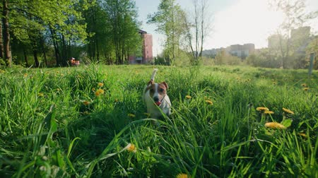 toward : Jack Russell Terrier dog runs through tall grass with dandelions in the Park, slow motion