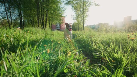 jardim formal : Jack Russell Terrier dog runs through tall grass with dandelions in the Park, slow motion