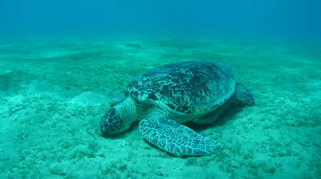 wilds : green sea turtle (Chelonia mydas) eating seaweed at the bottom, dives to the bottom and eating sea grass, Red sea, Marsa Alam, Abu Dabab, Egypt Stock Footage