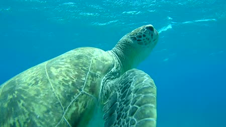 wilds : green sea turtle (Chelonia mydas) It floats on the water surface to breathe, Red sea, Marsa Alam, Abu Dabab, Egypt