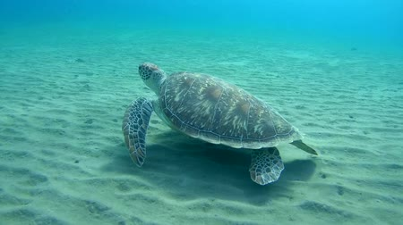 sandy waters : green sea turtle (Chelonia mydas) swims over a sandy bottom, Red sea, Marsa Alam, Abu Dabab, Egypt Stock Footage