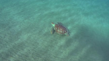wilds : green sea turtle (Chelonia mydas) swims over a sandy bottom, Red sea, Marsa Alam, Abu Dabab, Egypt Stock Footage