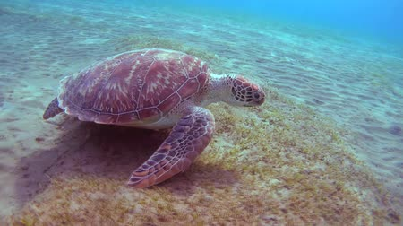 wilds : green sea turtle (Chelonia mydas) dives to the bottom and eating sea grass, Red sea, Marsa Alam, Abu Dabab, Egypt Stock Footage