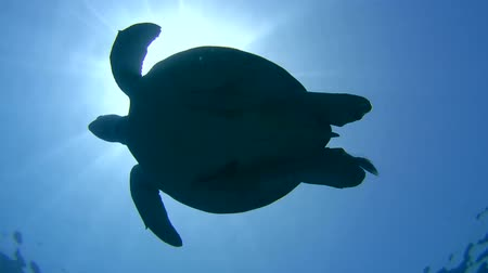 wilds : green sea turtle (Chelonia mydas) dives to the bottom, Red sea, Marsa Alam, Abu Dabab, Egypt Stock Footage