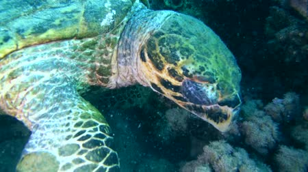 wilds : Diver looking at hawksbill sea turtle (Eretmochelys imbricata) eats coral, Red sea, Abu Dabab, Marsa Alam, Egypt