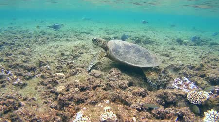 wilds : hawksbill sea turtle (Eretmochelys imbricata) on coral reef in Red sea, Abu Dabab, Marsa Alam, Egypt