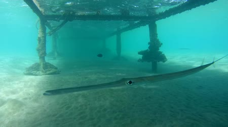 trumpetfish : Chinese trumpetfish (Aulostomus chinensis) swimming under the pier, Red sea, Marsa Alam, Egypt Stock Footage