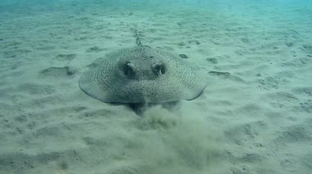sandy waters : Round ribbontail ray (Taeniura meyeni) over a sandy bottom, Red sea, Marsa Alam, Abu Dabab, Egypt