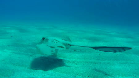 wilds : cowtail stingray (Pastinachus sephen) swims over a sandy bottom, Red sea, Marsa Alam, Abu Dabab, Egypt