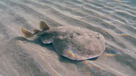 torpedo : Panther electric ray (Torpedo panthera) swims over a sandy bottom, Red sea, Marsa Alam, Abu Dabab, Egypt Stock Footage
