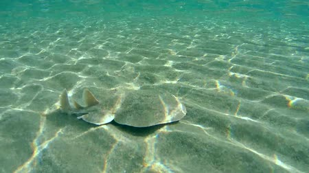 torpedo : Panther electric ray (Torpedo panthera) It buries itself in the sand, Red sea, Marsa Alam, Abu Dabab, Egypt