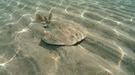 sandy waters : Panther electric ray (Torpedo panthera) It buries itself in the sand, Red sea, Marsa Alam, Abu Dabab, Egypt