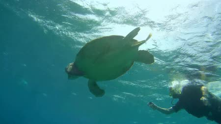 wilds : diver shooting at GoPro green sea turtle (Chelonia mydas) Red sea, Marsa Alam, Abu Dabab, Egypt Stock Footage