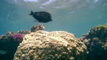 vida selvagem : The life of a coral reef, Red sea, Marsa Alam, Abu Dabab, Egypt