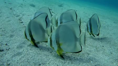 sandy waters : Orbicular batfish (Platax orbicularis) on the sandy bottom, Red sea, Marsa Alam, Abu Dabab, Egypt Stock Footage