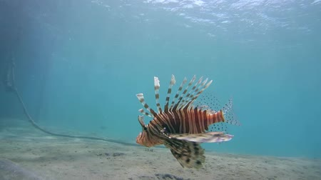sandy waters : red lionfish (Pterois volitans) swims over a sandy bottom, Red sea, Marsa Alam, Abu Dabab, Egypt