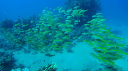 barbet : courtship Red Sea goatfish (parupeneus forsskali) Red sea, Marsa Alam, Egypt Stock Footage