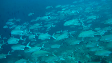 podwodny swiat : A large school of bigeye trevally (Caranx sexfasciatus) swims near coral reef, Indian Ocean, Maldives