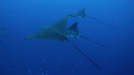 ışınları : Three spotted eagle ray (Aetobatus narinari) swimming in the water column, Indian Ocean, Maldives Stok Video