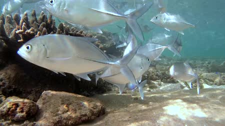 stella : A large school of fish Bigeye trevally (Caranx sexfasciatus) suitable for cleaning station, Indian Ocean, Hikkaduwa, Sri Lanka, South Asia