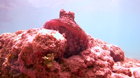socialist republic : octopus sits on a rock and hide in a hole, Indian Ocean, Hikkaduwa, Sri Lanka, South Asia