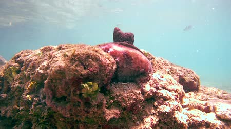 socialist republic : octopus comes out of his hole and sits on a stone (bottom view), Indian Ocean, Hikkaduwa, Sri Lanka, South Asia Stock Footage