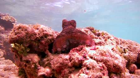 socialist republic : octopus sitting on the stone changes color and is hiding in a hole, Indian Ocean, Hikkaduwa, Sri Lanka, South Asia