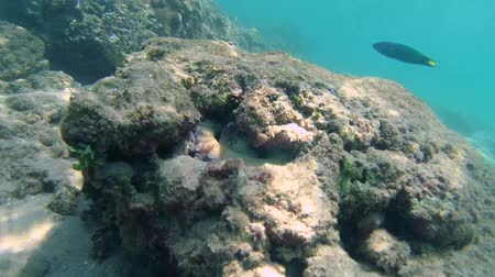 alatt : Cyanes octopus removes the stone covering the hole, comes out and sits down next to the shelter, Indian Ocean, Hikkaduwa, Sri Lanka, South Asia