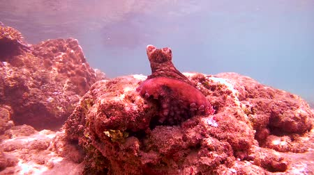 socialist republic : red octopus (Octopus cyanea) sits on a rock and watching the surroundings, Indian Ocean, Hikkaduwa, Sri Lanka, South Asia