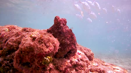 socialist republic : curious red octopus sits on a rock watching a bunch of trevally, then hiding in a hole (bottom view), Indian Ocean, Hikkaduwa, Sri Lanka, South Asia Stock Footage