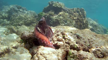 climbed : Red octopus climbed on a rock, looked around and hid in his hole by changing its color (top view), Indian Ocean, Hikkaduwa, Sri Lanka, South Asia