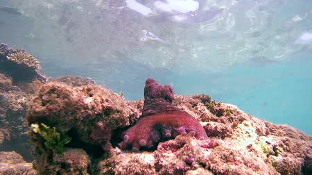 socialist republic : Cyanes octopus (Octopus cyanea) sits on top of the stone next to his new (bottom view), Indian Ocean, Hikkaduwa, Sri Lanka, South Asia