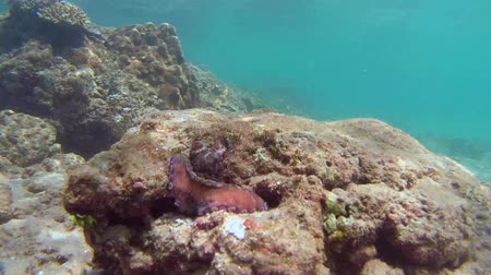 socialist republic : frightened octopus (Octopus cyanea) sits next to burrow and changes color, Indian Ocean, Hikkaduwa, Sri Lanka, South Asia Stock Footage