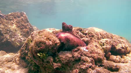 socialist republic : curious red octopus (Octopus cyanea) sits on a rock near his shelter, Indian Ocean, Hikkaduwa, Sri Lanka, South Asia