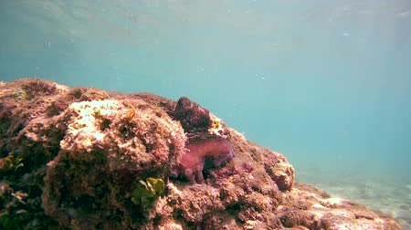 socialist republic : red octopus peeks from his hiding place, Indian Ocean, Hikkaduwa, Sri Lanka, South Asia